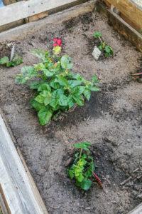 Im Refugium haben wir nach den Pflanzwünschen der Kinder die Hochbeete neu bepflanzt. (Foto: Julia Düe)